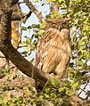 Brown Fish owl in Gir Forest.jpg