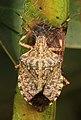 Brown Marmorated Stink Bug - Halyomorpha halys, Glendening Preserve, Lothian, Maryland (26377579269).jpg