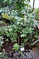 Brunfelsia americana - Botanischer Garten - Heidelberg, Germany - DSC01103.jpg
