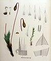 Bryum fallax — Flora Batava — Volume v16.jpg