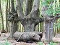 Buchen LSG-Dünnwalder Wald.jpg