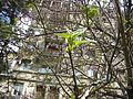 Bucuresti, Romania. Frunzele Copacului Violet.JPG