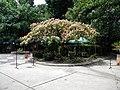 Bucuresti, Romania. Piata Lahovari. Casa Oamenilor de Stiinta. Copacul din specia Mimoza sau arborele de matase (Gradina).jpg