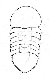 <i>Buenaspis</i> Small cambrian anthropod