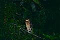 Buffy Fish-owl (Ketupa ketupu) (14434024890).jpg