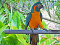 Bule-throated Macaw RWD2.jpg