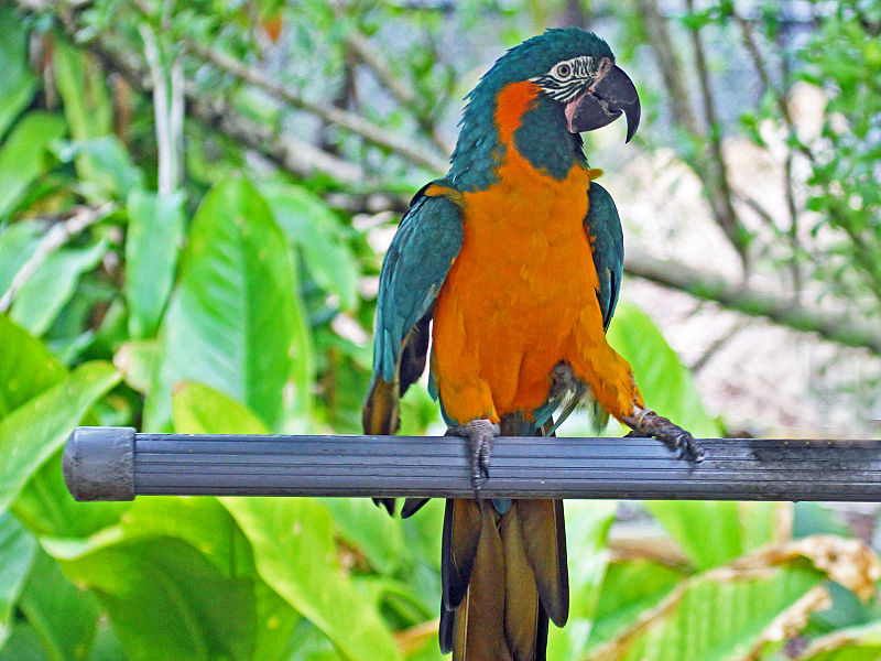 File:Bule-throated Macaw RWD2.jpg