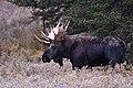 Bull Moose (50437572622).jpg