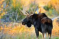 Bull Moose (Shiras) on Seedskadee National Wildlife Refuge (21995486405).jpg