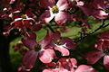 Bunch-of-dogwood-flowers - West Virginia - ForestWander.jpg