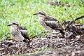Bush Stone-curlew (31994921571).jpg