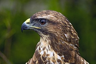 Common buzzard - Image: Buteo buteo Hamerton Zoo, Cambridgeshire, England head 8a