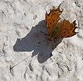 Butterfly Shadow (4133276998).jpg