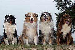 Color variants: Black tricolor, red merle, blue merle,liver-tri.
