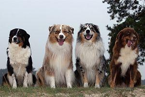 Australische herder in verschilldende kleurslagen.
