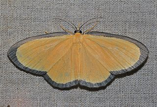 <i>Bytharia</i> Genus of moths