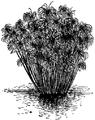 C+B-Papyrus-Plant.PNG
