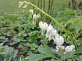 Cœur de Marie blanc à Grez-Doiceau 001.jpg