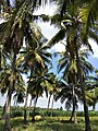 COCONUT FARM.jpg