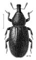 COLE Curculionidae Pselactus spadix f.png