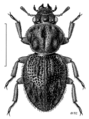 COLE Hydraenidae Meropathus zelandicus.png