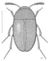 COLE Leiodidae Pseudonemadus lituratus.png