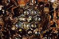 CSIRO ScienceImage 3971 Mother varroa mite Varroa destructor with offspring.jpg