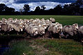 CSIRO ScienceImage 544 Muddy sheep.jpg