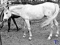 Caballo Blanco (58838852).jpeg