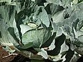 Cabbage from lalbagh 2300.JPG