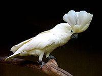 Cacatua alba -Bali Bird Park -crest-8