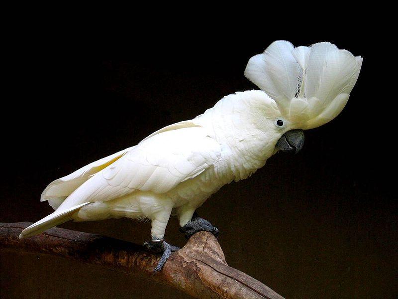 File:Cacatua alba -Bali Bird Park -crest-8.jpg