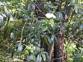 Cadaba trifoliata-4-mundanthurai-tirunelveli-India.jpg