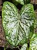Caladium 'White Cap' Leaf.JPG