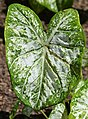 Caladium 'White Cap' Leaf.JPG