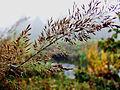 Calamagrostis brachytricha, (diamantgras) 2.jpg