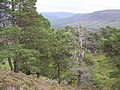Caledonian Pine Forest - geograph.org.uk - 519937.jpg