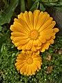 Calendula arvensis 113824.jpg