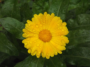 Calendula - Flower of Calendula officinalis