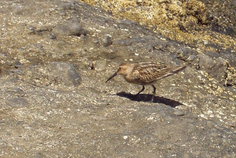 File:Calidris alpina 030919 1.jpg