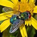 Calliphoridae - Chrysomya albiceps (female).JPG