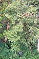 Calocedrus macrolepis - San Francisco Botanical Garden - DSC00103.JPG