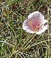 Calochortus striatus 2.jpg