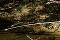 Calopteryx xanthostoma 02 by-dpc.jpg