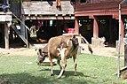 Calving in Laos (4 of 9).jpg