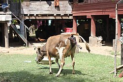 Calving in Laos (4 of 9).jpg