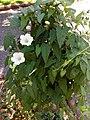 Calystegia sepium - περικοκλάδα 02.jpg
