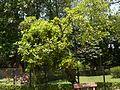 Cambi Resin tree (2478913282).jpg