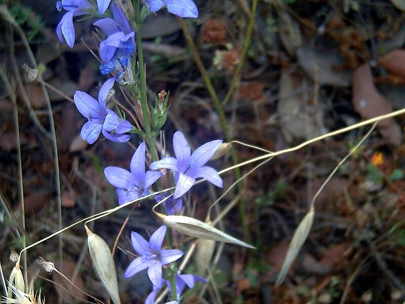 File:Campanula rapunculus Plant SierraMadrona.jpg