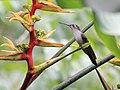 Campylopterus pampa, Belize.jpg